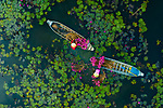 Two women stand in shallow water collecting bright pink flowers of the waterlily plant.  They spread the long plants out in a circle around themselves and let them float on the surface of the water as they harvested them.<br /> <br /> The pictures were captured in An Giang province, Vietnam, by amateur photographer Khanh Phan.  SEE OUR COPY FOR DETAILS.<br /> <br /> Please byline: Khanh Phan/Solent News<br /> <br /> © Khanh Phan/Solent News & Photo Agency<br /> UK +44 (0) 2380 458800