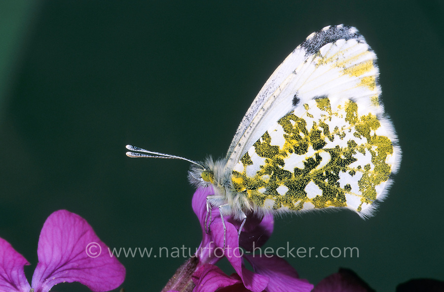 Aurorafalter, Weibchen beim Blütenbesuch, Nektarsuche, Aurora-Falter, Anthocharis cardamines, orange-tip, female