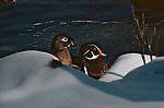 Two wood ducks swim in Colorado.