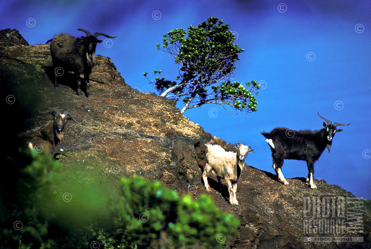 Feral goats on rim of Kalalau Valley, Na Pali Coast State Park, Kauai north shore.