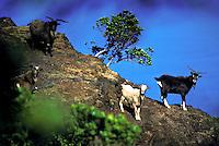 Feral goats on rim of Kalalau Valley, Na Pali Coast State Park, Kauai north shore.