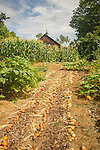 Sundance sustainable Homestead Farm. N. Guilford, CT. Dana McMillan- owner. Onions drying in garden.