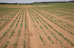 Row of young onions in sandy soil, Suffolk farming landscape scenery, East Anglia, England