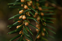 Flower buds of a yew tree (Taxus baccata).