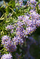 Chilean Potato Vine Solanum crispum 'Glasnevin' in lavender purple flower