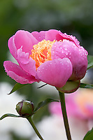 Vashon Island, WA<br /> Pink peony (Paeonia spp.) with yellow center and bud