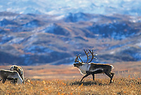 Bull Caribou chases younger male across the autumn tundra, Denali National Park, Alaska