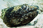 Ophichthus ophis, Spotted snake eel, Bonaire