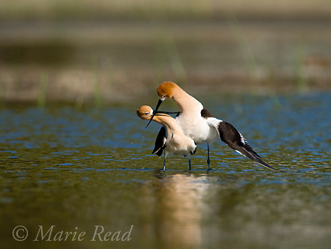 American Avocets (Recurvirostra americana) pair during post-copulatory display during which the two birds cross bills and run a few steps together, Orange County, California, USA