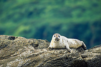 Harbor Seal, Coastal Katmai National Park, Alaska Peninsula