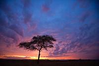 Unbrella Acacia tree, Masai Mara, Kenya, Africa