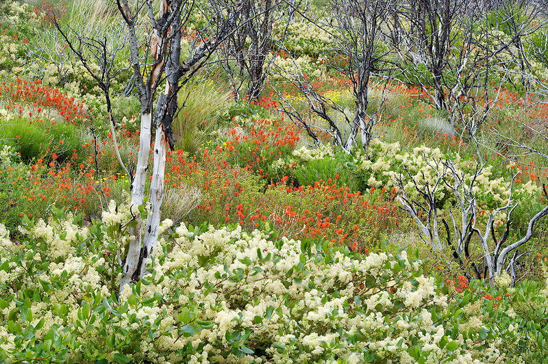 Wildflowers three years after burn. Mostly Ceonothus (snowbush) and Indian Paintbrush. Freemont National Forest. Oregon