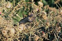 California Ground Squirrel feeding on thistle.  CA