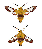 69.009 (1983)<br /> Broad-bordered Bee Hawk-moth - Hemaris fuciformis