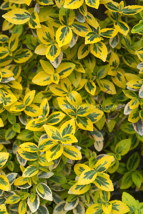 Euonymus fortunei MorGold variegated green and yellow foliage shrub leaves