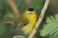 Wilson's Warbler, Wilsonia pusilla, male, South Padre Island, Texas, USA