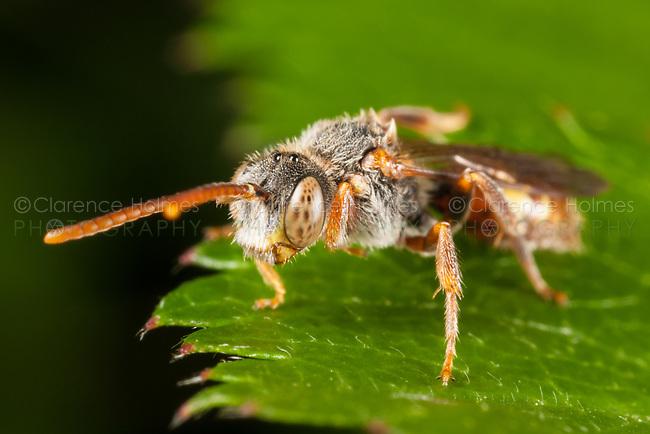 Cuckoo Bee (Nomada bella), West Harrison, Westchester County, New York