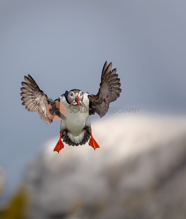 Atlantic Puffin in breeding colors, landing with fish in beak.