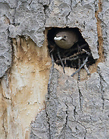 A House Wren prepares to leave its nest cavity with the fecal sack of a nestling.