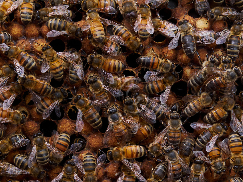 In this photo of bees on a brood frame, we can observe the difference in color of certain bees, which attests to the genetic mixing between different lines of half-sister. This genetic mixing is the result of the fertilization of the queen by a dozen or more males.<br /> Sur cette image d&rsquo;abeilles sur un cadre de couvain, l&rsquo;on observe la diff&eacute;rence de couleur de certaine abeille qui atteste du brassage g&eacute;n&eacute;tique entre les diff&eacute;rentes lign&eacute;es de demi-s&oelig;urs. Ce brassage g&eacute;n&eacute;tique est le r&eacute;sultat de la f&eacute;condation de la reine par une quinzaine de m&acirc;les.