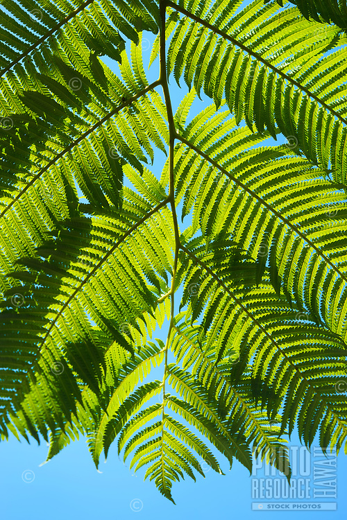 Looking up at the underside of a sunlit fern near the Thurston Lava Tube entrance of Hawai'i Volcanoes National Park, Hawai'i Island.
