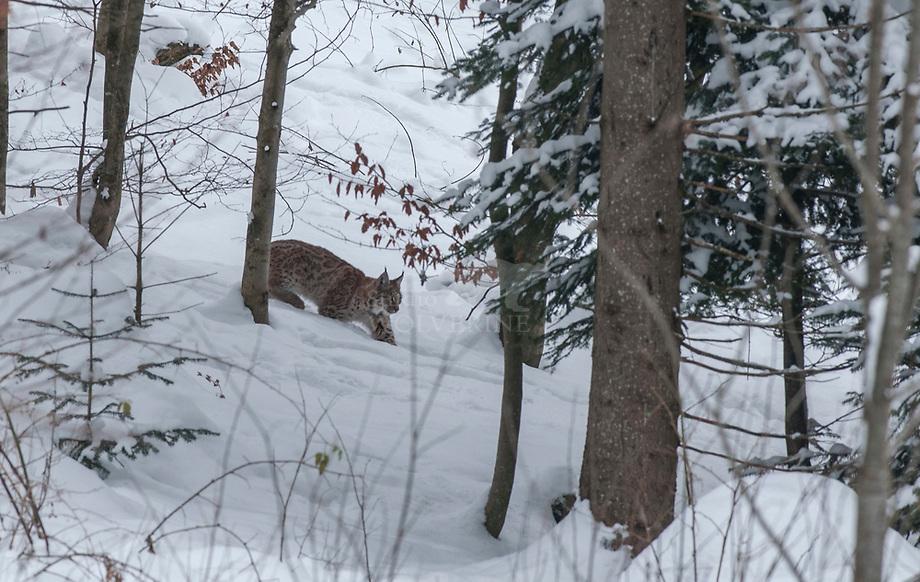 Lynx (Lynx lynx)lopend door besneeuwd woud