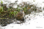 SPARROW; white crowned sparrow