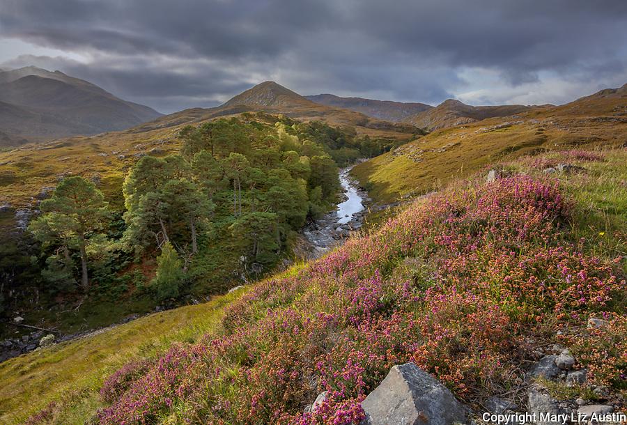 Glen Strathfarrar, Western Highlands, Scotland: Heather blooming on a hillside with Ulisge Misgeach River in the distance