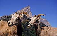Portrait of two mountain goats in Glaciar National Park, Montana, USA