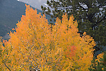fall, color, aspen, Populus tremuloides, Bierstadt Moraine, morning, trees, forest, scenic, Rocky Mountain National Park, Colorado, USA