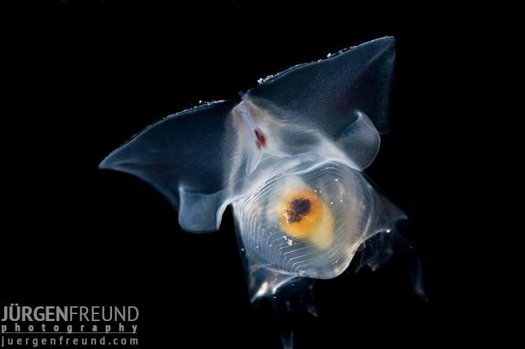 Sea butterflies, also known as Thecosomata or flapping snails, are a taxonomic suborder of pelagic swimming sea snails. This group used to be known as pteropods. This term, however, is no longer scientifically precise, but is still used sometimes as a convenience.