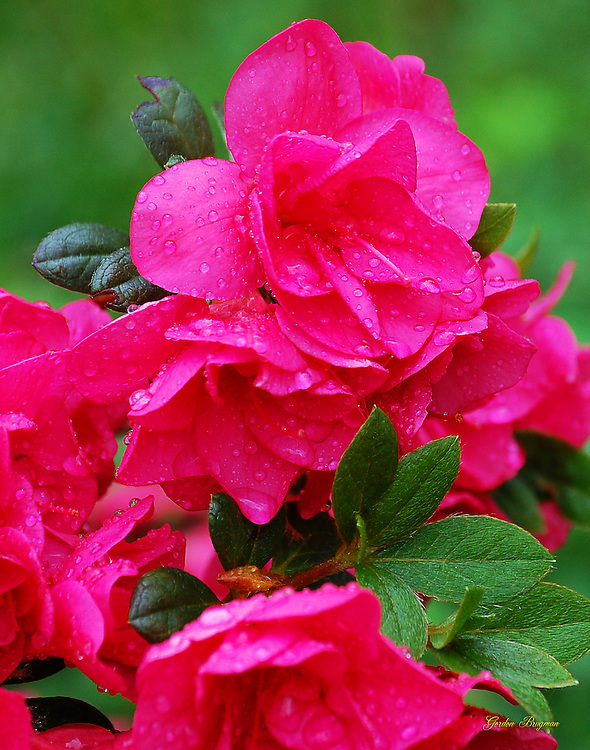 Azalea blooms following a spring rain.