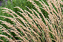 Calamagrostis varia, early August.