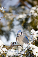 01288-05413 Blue Jay (Cyanocitta cristata) in Juniper tree (Juniperus chinensis 'Keteleeri') in winter, Marion Co., IL