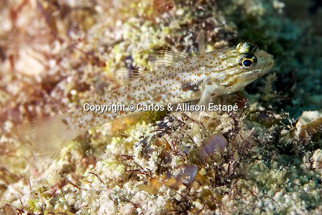 Coryphopterus dicrus, Colon goby, Florida Keys