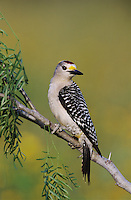 Golden-fronted Woodpecker, Melanerpes aurifrons, male, Willacy County, Rio Grande Valley, Texas, USA