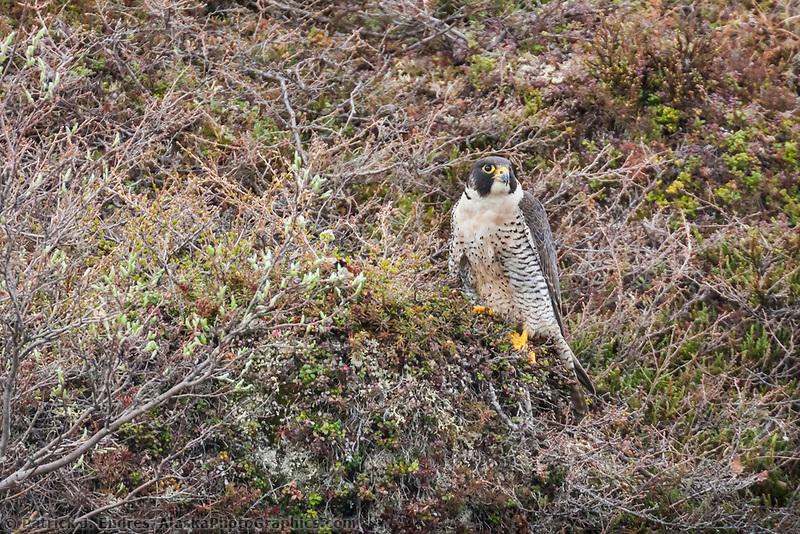 Peregrine falcon along the cliffs of the Etivluk river, National Petroleum Reserve, Alaska.