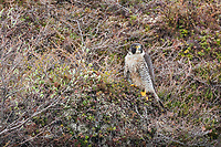 Peregrine falcon along the cliffs of the Etivluk river, National Petroleum Reserve, Alaska.