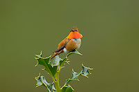 Male Rufous Hummingbird sitting atop holly bush.  Pacific Northwest.