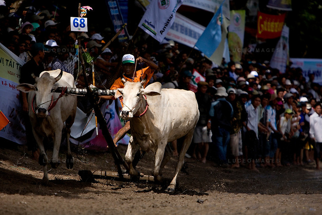 Farmers race bulls during the annual &quot;Dua Bo - Cow Racing&quot; competition in Tri Ton District in southern Vietnam near the Cambodian border on September 27, 2008.<br />