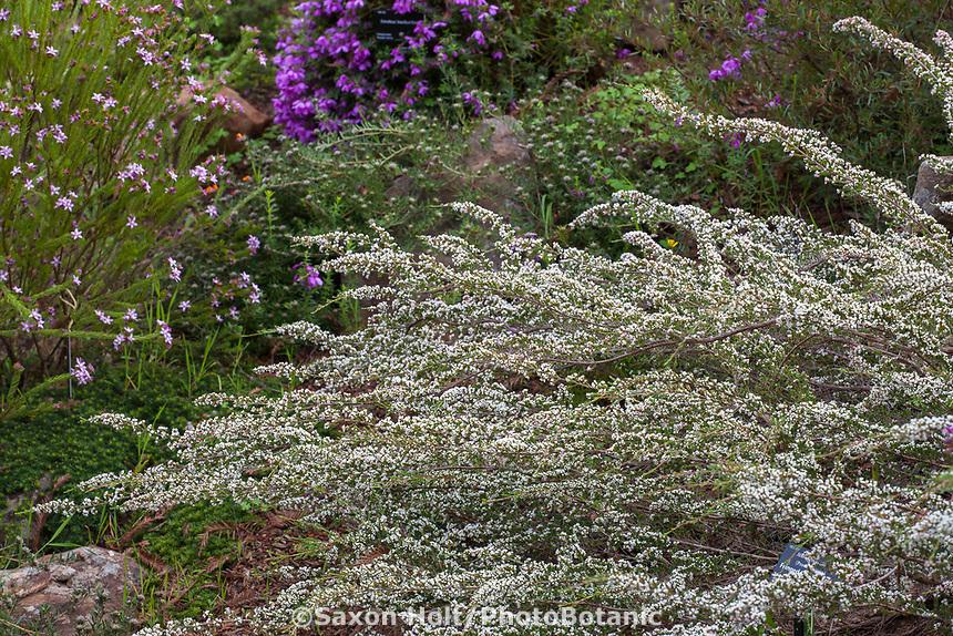 Micromyrtus ciliata, prostrate form (Fringed Heath-myrtle) flowering shrub in University Of California Santa Cruz Arboretum And Botanic Garden