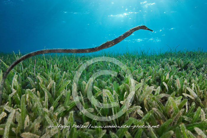 Syngnathus sp., Giant pipefish, Große Seenadel, Taba, Egypt, Red Sea