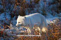 01863-01309 Arctic Fox (Alopex lagopus) in snow in winter, Churchill Wildlife Management Area, Churchill, MB Canada