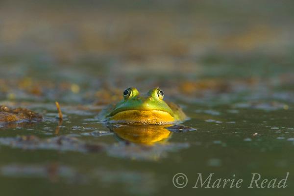 Bullfrog (Rana catesbeiana), partially submerged in water, with reflection, New York, USA