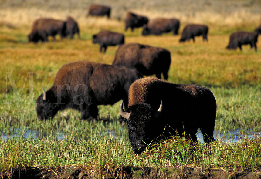 Herd of bison grazing in Yellowstone National Park. Yellowstone National Park Wyoming USA.