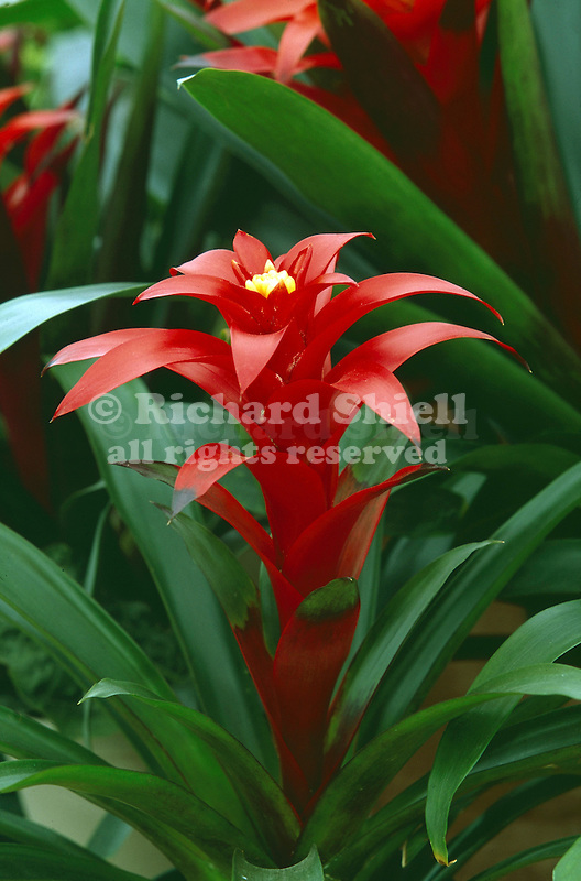 16515-AF Bromeliad, Guzmania 'Scarlet Knight', grown from tissue culture, in April, at Santa Paula