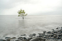 Lone mangrove tree on a rainy day in Australia.