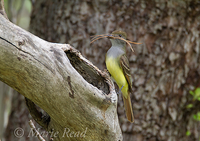 Great Crested Flycatcher (Myiarchus crinitis) bringing pine needles as nest material to its nest site in a tree hole, New York, USA