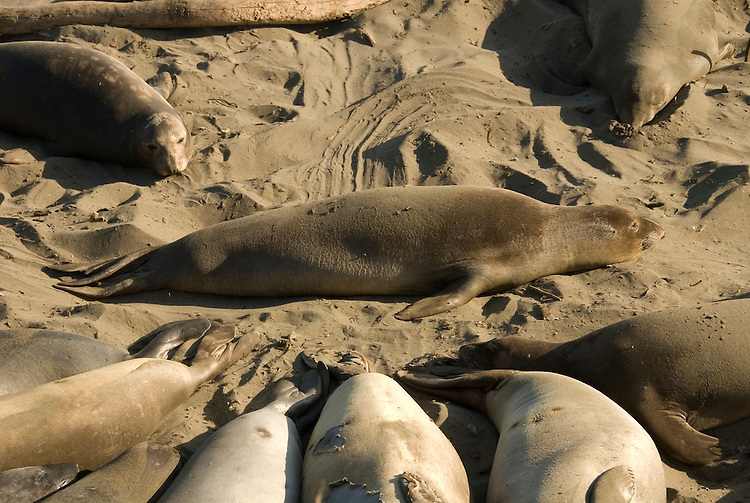 California, San Luis Obispo County:  Elephant Seals gather at Piedras Blancas beach..Photo caluis192-70983..Photo copyright Lee Foster, www.fostertravel.com, 510-549-2202, lee@fostertravel.com