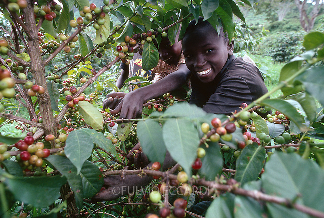 Kenya, coffee, coffea, organic, robusta, cherry, cherries, harvest, process, picking, ripe, red, worker, child, children boy, smile